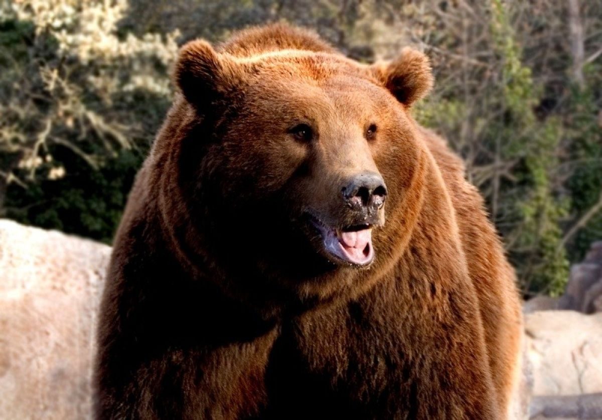 El oso de los Pirineos, una criatura asombrosa