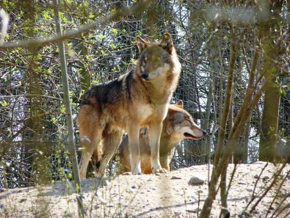 Ver lobos en España: ¿qué puedes encontrarte en el Valle de Arán?