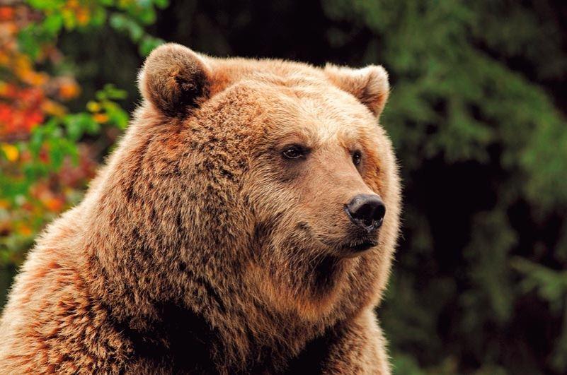 oso pardo valle de aran
